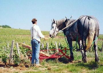 plowing the vineyards in Burgundy