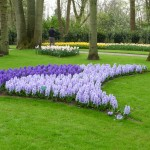 Purple Hyacinths at the Keukenhof