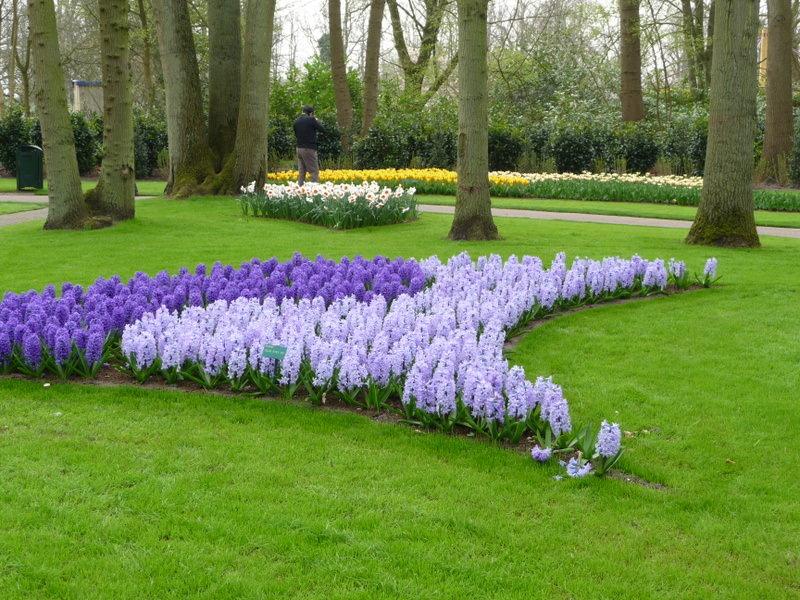 Purple Hyacinths at the Keukenhof