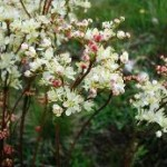 filipendula-vulgaris-on-the-stora-alvar