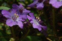 wigandia_b_jardim-botanico