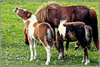 shetland-island-pony-juergen-kurlvink