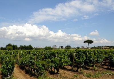 Rows of primitivo grape vines