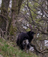 Much needed company for the solo walker A feral goat