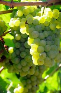 Chardonnay grape Bunch
