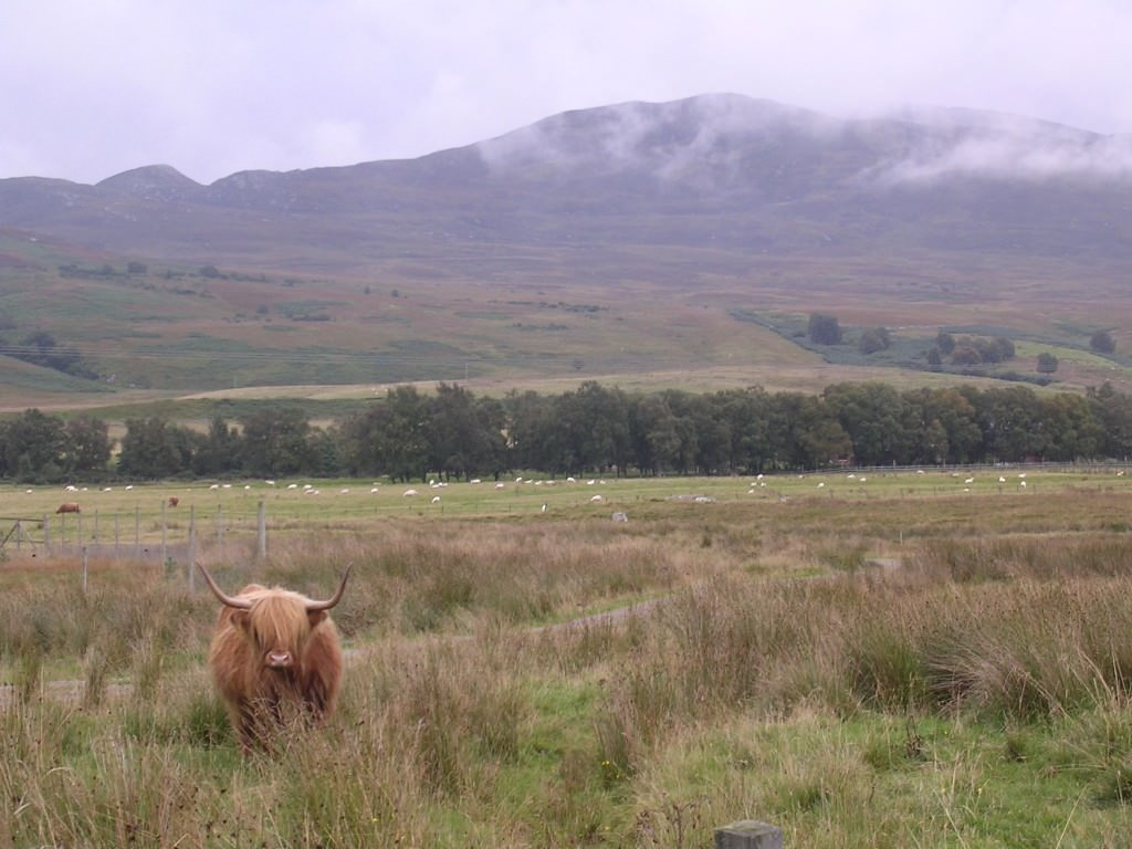 The Highland, or hipster, cow at home