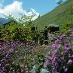 alpine neadows above Zermatt