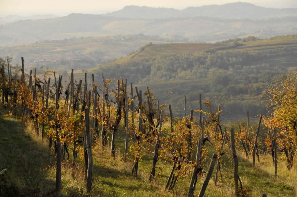 Vines in the Goriska Brda region