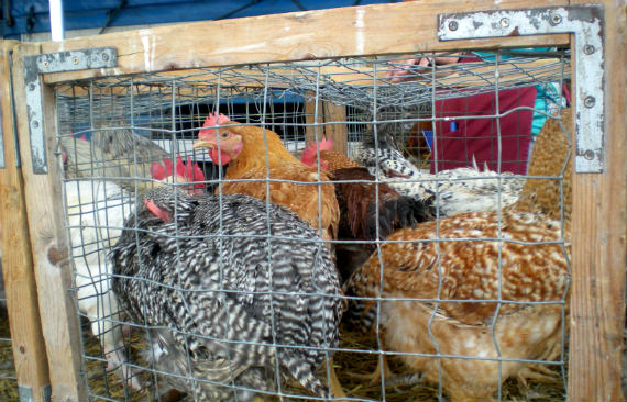 Live Chickens for sale at Brussels' Clemenceau market