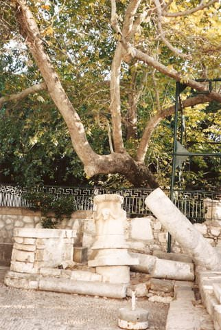 Ancient tree in Kos, Greece