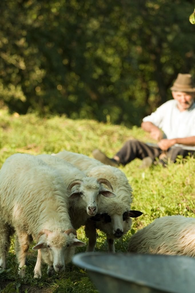 """Sheep and shepherd in the village of Ieud. Just across from the wooden church, a very nice lady welcomed us with delicious local """"mamaliga"""", melted cheese and smoked meat."""