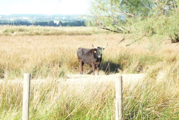 Bull grazing in the Camargue