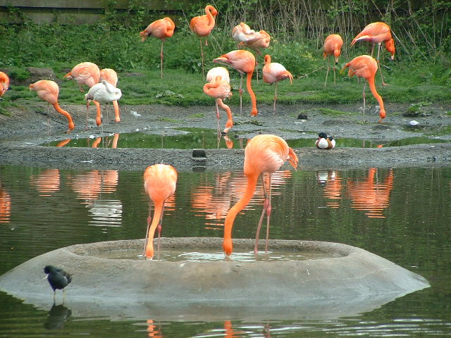Flamingos at the National Wetland Centre, photo by Nigel Homer