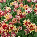 Parrot Tulips at the Willem Alexander Pavilion