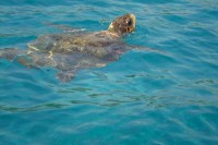 Searching for Loggerhead Sea Turtles in Zakythos, Greece