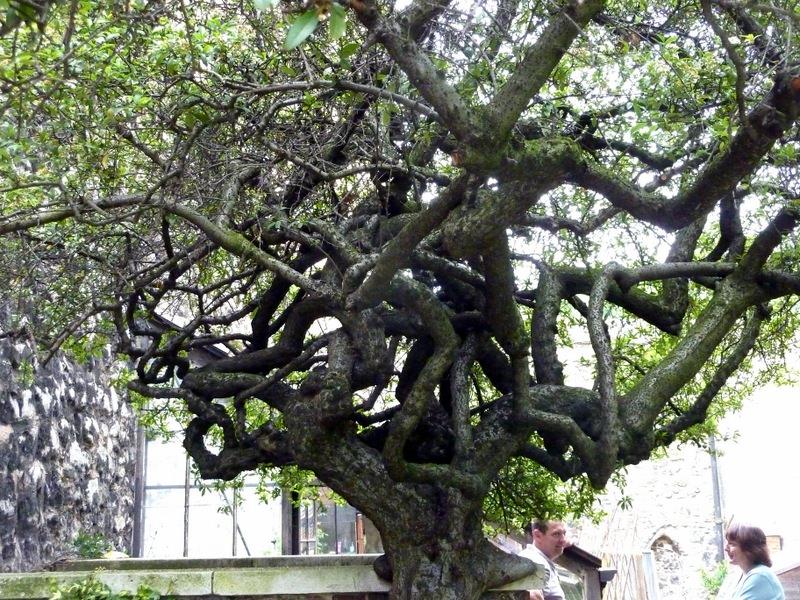 Convoluted tree