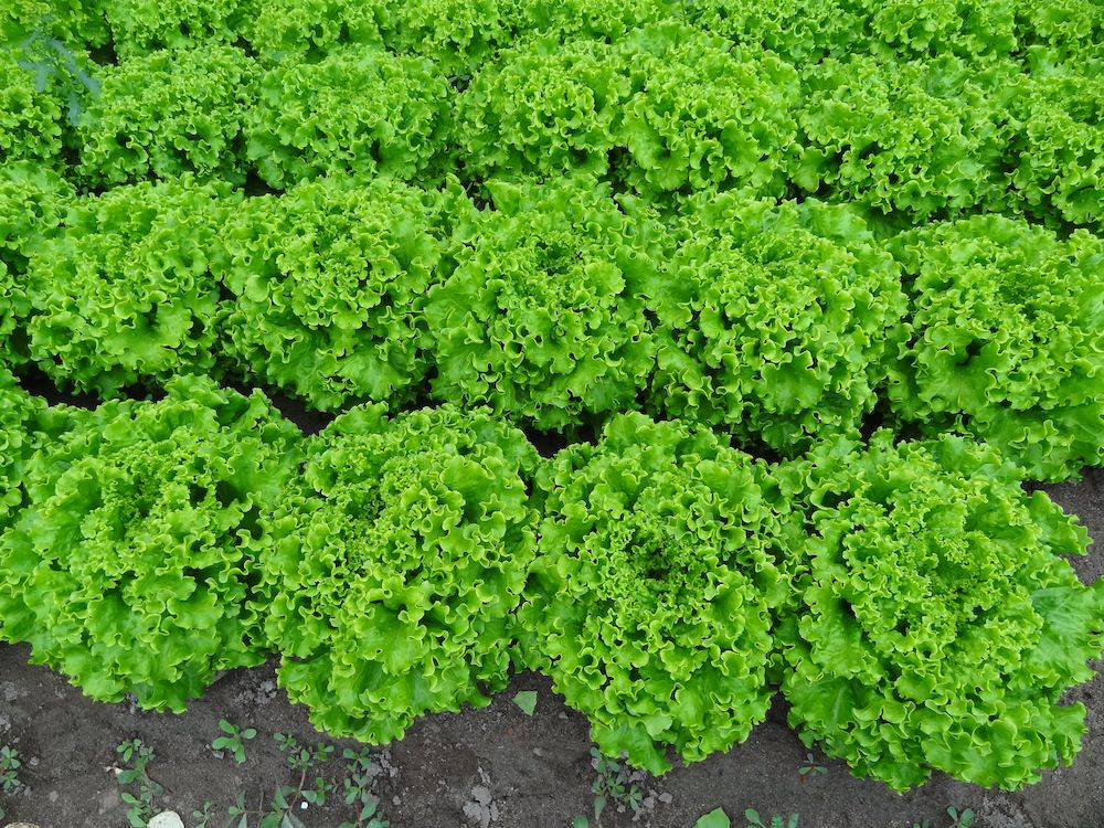 verdant swaths of IGP-certifed Lusia salad