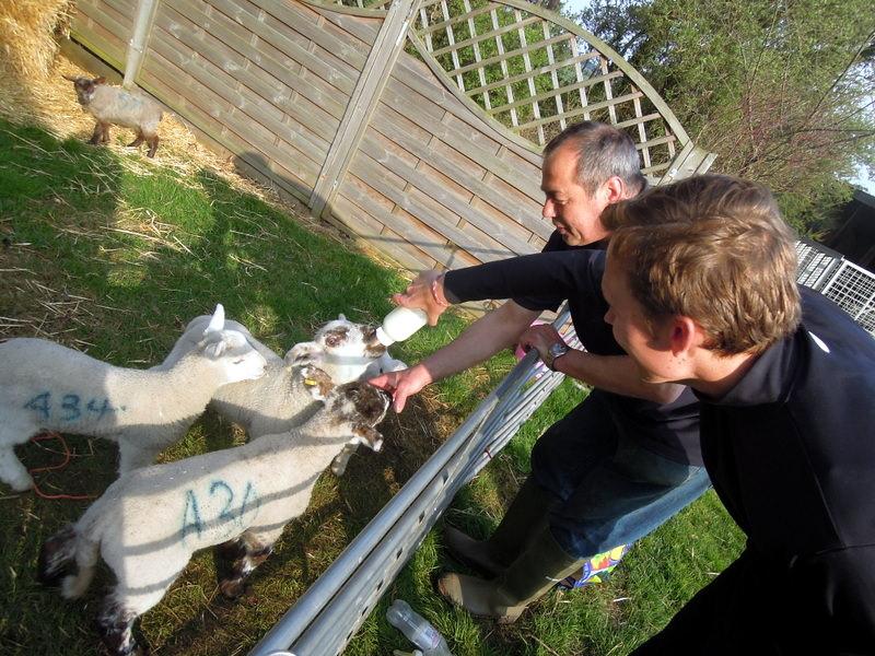 Bottle feeding the lambs