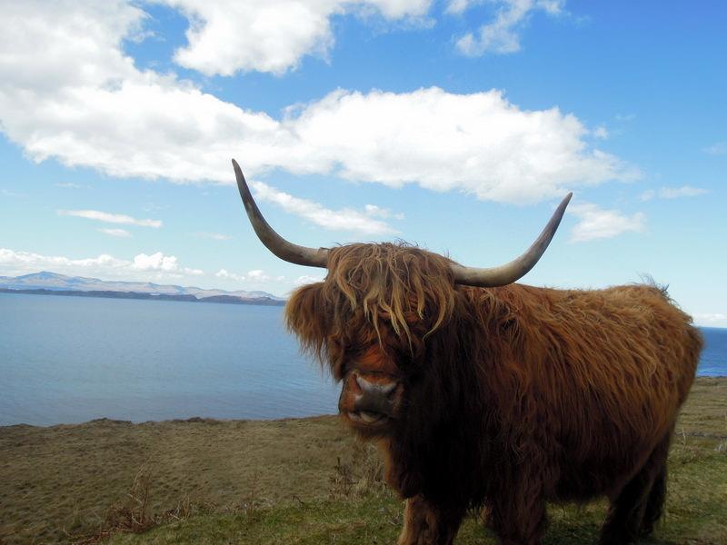 Photogenic Highland cattle