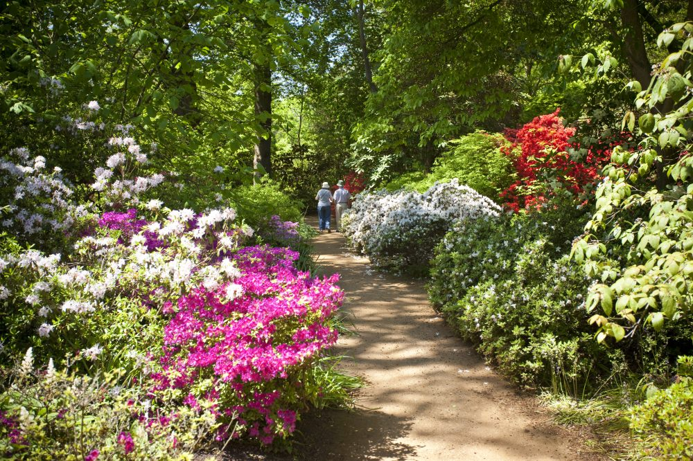 Rhododendrons and Azaleas Line the Paths in the Great Park