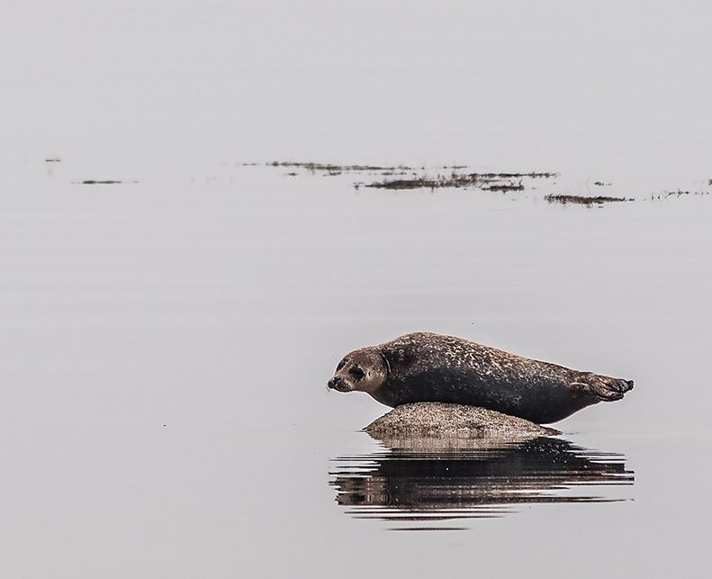 One of many seals off Kildonan in the south of Arran on a bright, but misty afternoon.
