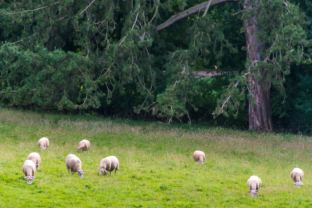 Sheep graze in the meadow near Ruthin Castle