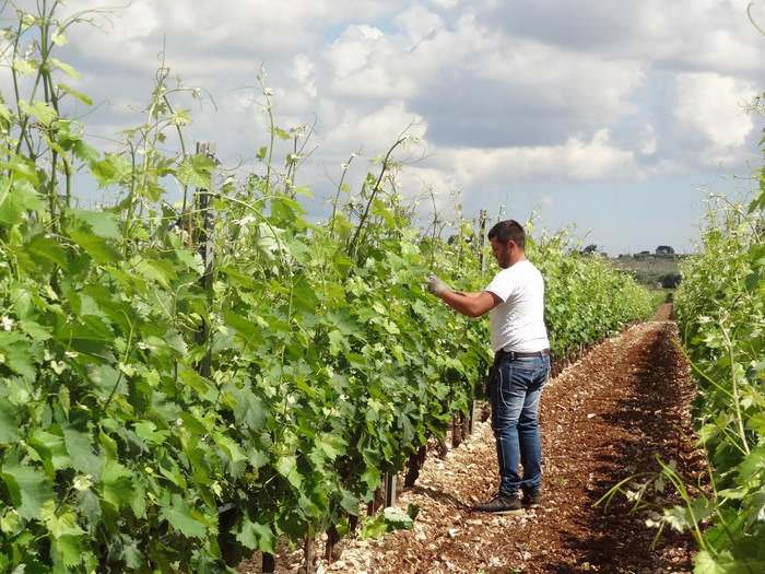 pruning the grapes at Altemura vineyard