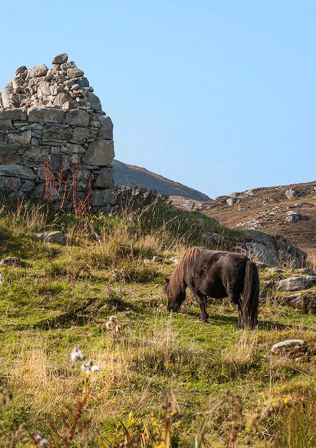 A wild Highland pony