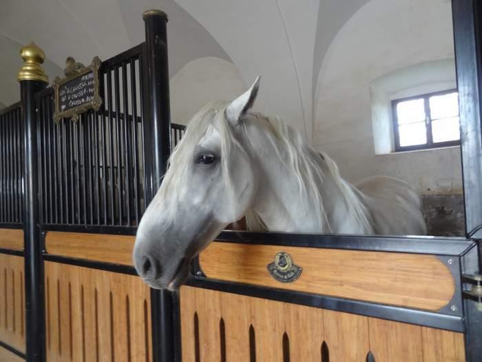 Lipizzaner stud stallion in Lipica, Slovenia