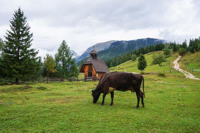 Grazing cow in Pokljuka