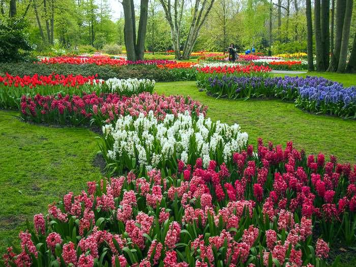 hyacinths in the Keukenhof Gardens