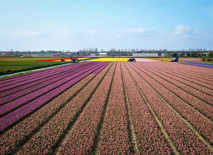 flower fields surround and supply the Keukenhof Gardens