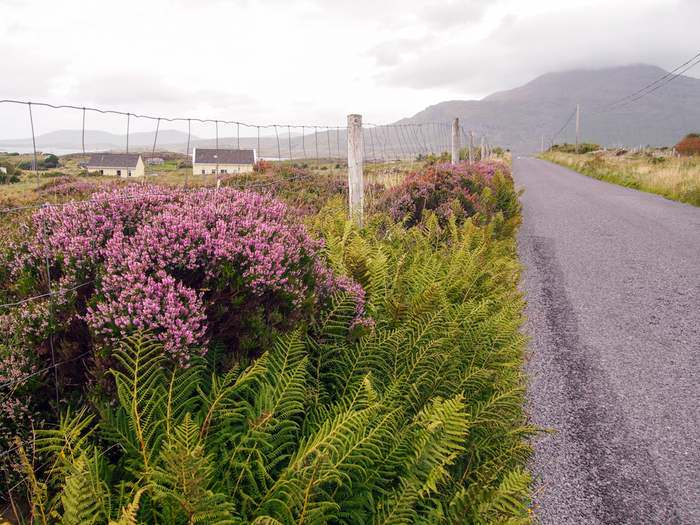 Wildflowers lining an empty road in Connemara