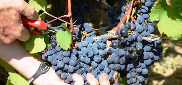 Harvesting grapes at the Emmanuel Delicata winery in Malta